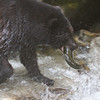 Black Bear landing a pink salmon, Anon Creek, Alaska