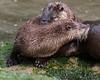 amorous otters