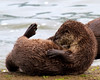 little known fact, River Otters take sit ups and core building exercise very seriously