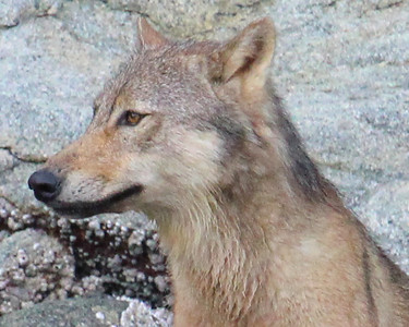 Coastal Wolf - Up Close and Personal