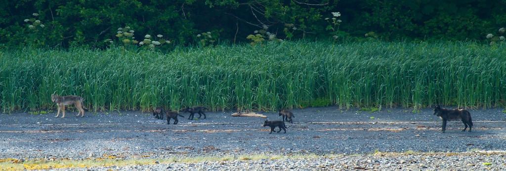 Coastal Wolves - South East Alaska