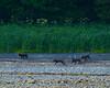 Coastal Wolf pups playing along the shoreline