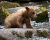 young grizzly catching salmon at Anan Creek, Alaska