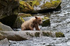 young grizzly learning to catch salmon