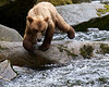 young grizzly attempting to catch salmon
