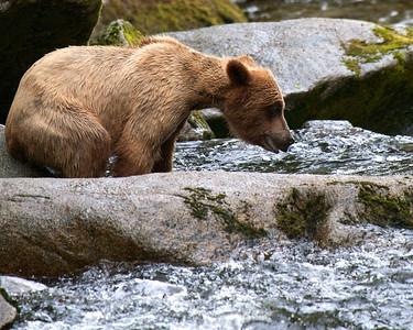 Grizzlies - Anan Creek, Alaska