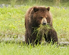 Sedge grass is an important grizzly staple