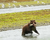 By this point, this bear has gotten into the groove of catching salmon.