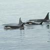 Orca with Calves
