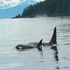 Orca - South East Alaska