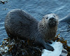River Otter