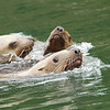 Sea Lions swimming along side
