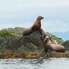 Sea Lions at a haul out