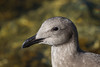 "The Western Gull is a ""four-year gull,"" in that it takes four years to reach adult plumage."