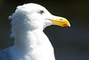 The Western Gull typically lives 15 years, but can live to at least 25 years.
