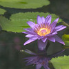 Amazon Waterlily