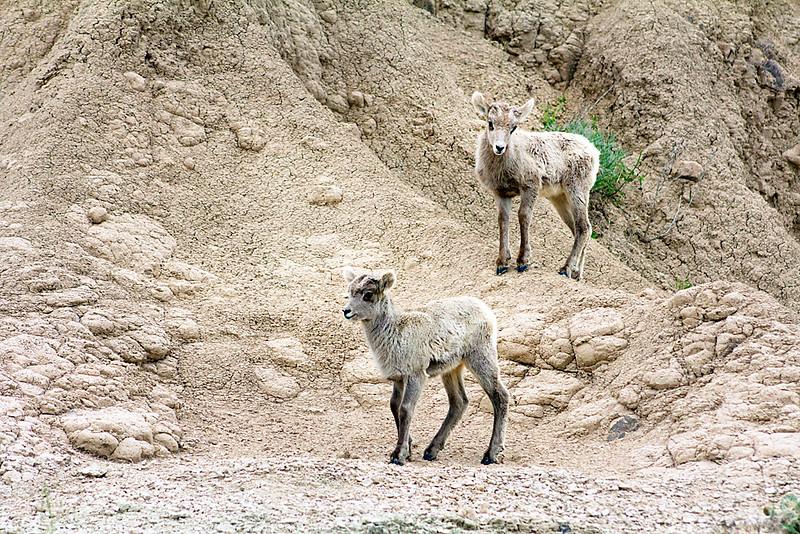 Bighorn Sheep Twins