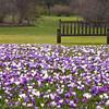 Crocus with Bench
