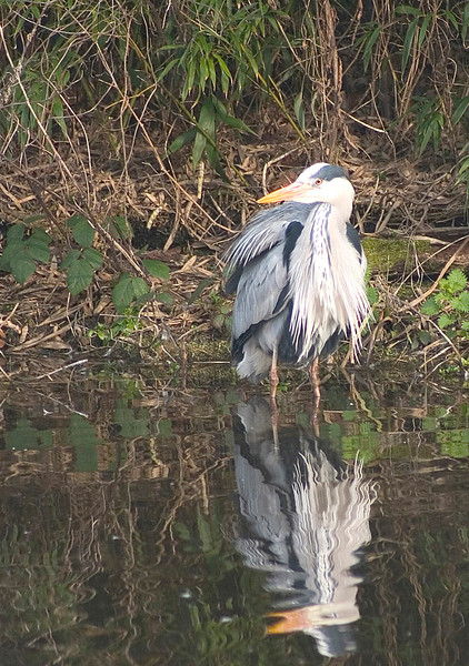 Bathing Heron