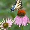 Female Tiger Swallowtail with Coneflowers