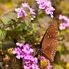 Spotted Butterfly (Euploea)