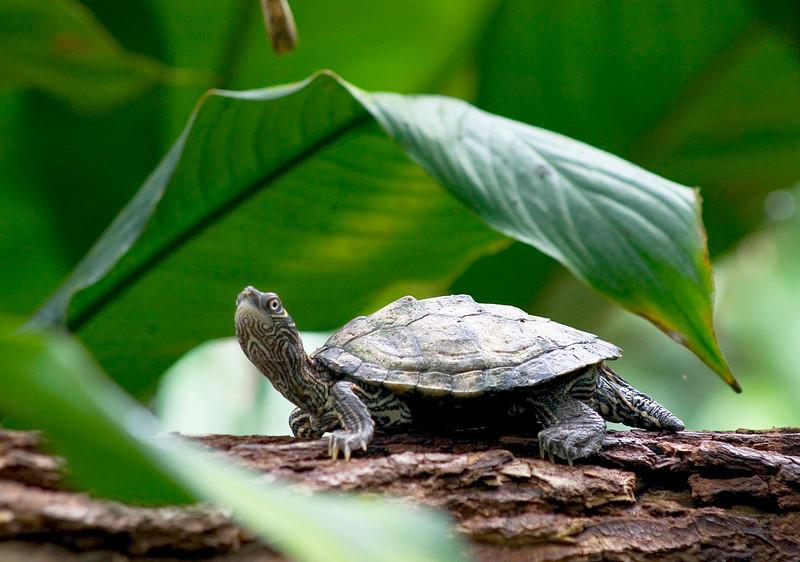 Turtle Under Leaf
