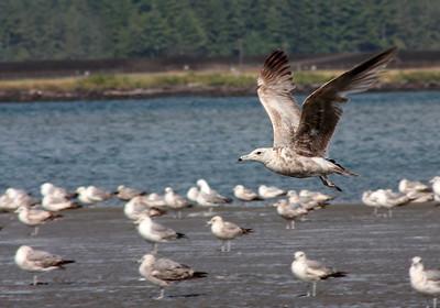 Gulls at Beach