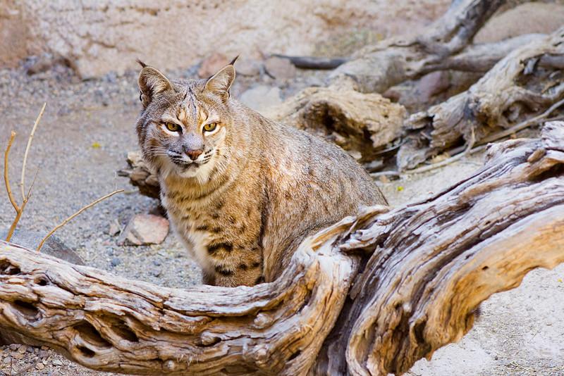 Bobcat with Log