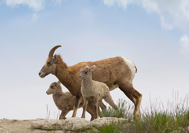 Bighorn Sheep with Twins