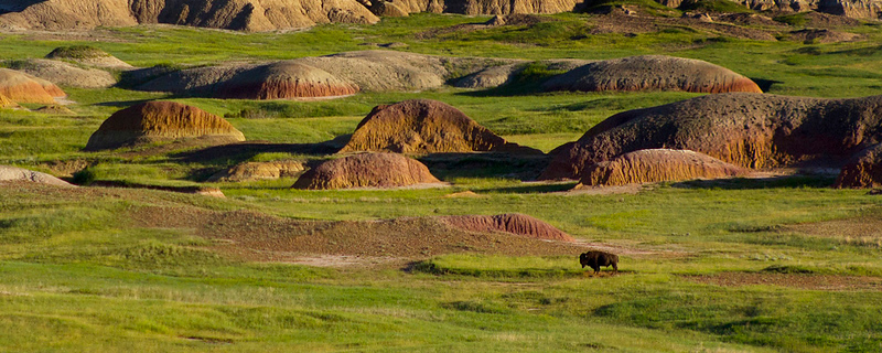 Badlands with Buffalo