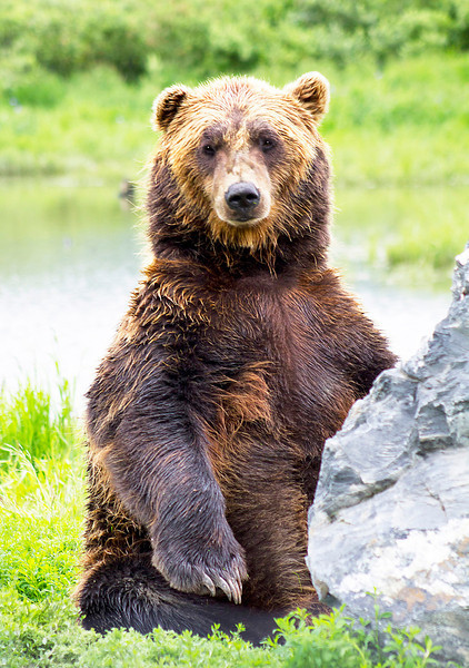 Seated Grizzly