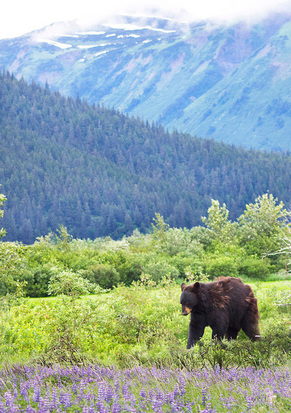 Black Bear with Mountains