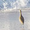 Shore Bird