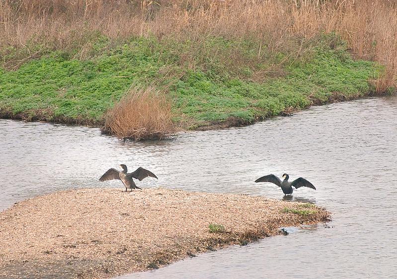 Morning Dance (Cormorant)