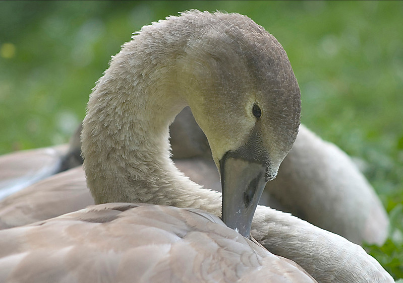 Swan (Cygnet)