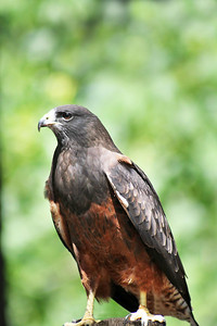 Swainson Hawk (Dark Morph)