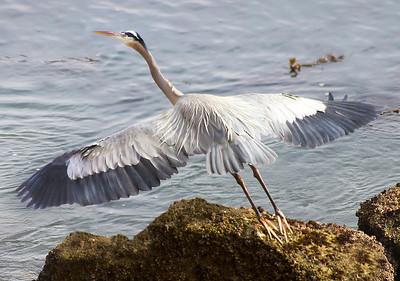 Great Blue Heron Taking Flight