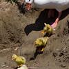 Sliding Ducks