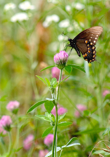 Spicebush Swallowtail on Clover