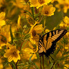 Swallowtail on Yellow Flowers