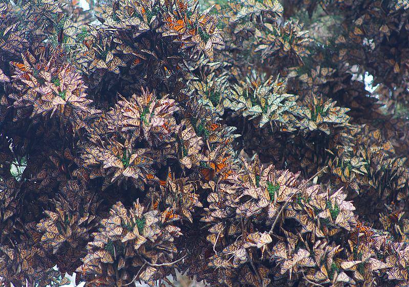 Monarch Hibernation 2