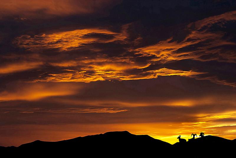 Big Horn Sheep at Sunset