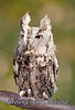 BC-101 Screech Owl