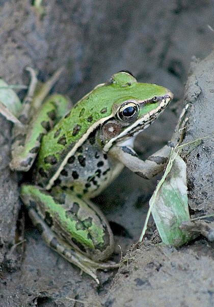 BC-113 Frog BBB