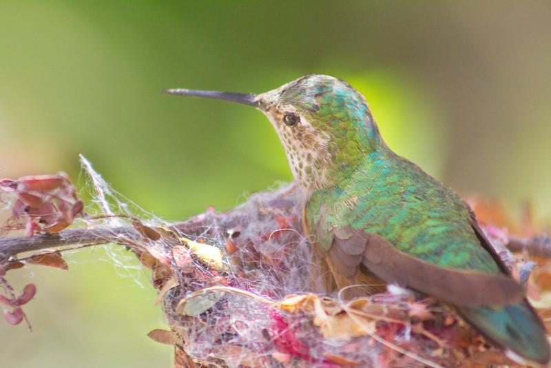 BC-105 Hummingbird in Nest
