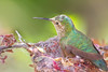 BC-105 Hummingbird in Nest
