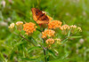 BC-309 Orange Butterfly on Orange Flowers