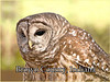 BC-100 Barred Owl