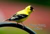 BC-103 Goldfinch