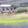 Old Wagon with Lavender